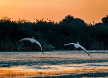 Ta för pelikan av på soluppgång i Donaudeltan, Rumänien royaltyfria foton