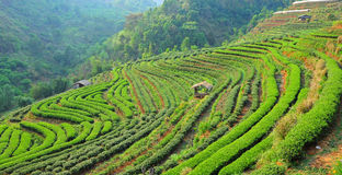 Tea farm. At Doi ang-Khang , Chiangmai province, Thailand Royalty Free Stock Image