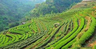 Tea farm Royalty Free Stock Image