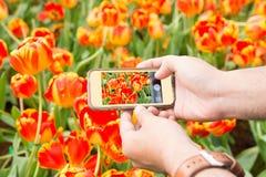 Ta fotoet av orange tulpan vid smartphonen Arkivbild
