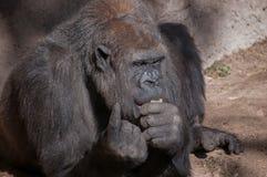 Äta för gorilla. Arkivbild