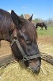 Äta för hästar Royaltyfri Bild