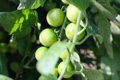 Ta-grupp av gröna tomater på filialerna i grönsakträdgården 3 Arkivfoton
