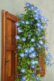 tła koloru kwiatu chwały ranek naturalny fiołek Obrazy Royalty Free