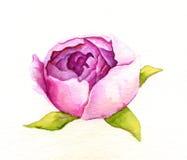 tła kwiatu peoni biel Obrazy Stock