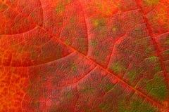 tła liść klon Obraz Royalty Free