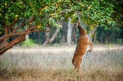Äta lösa manliga cheetal hjortar (axelaxeln) india Royaltyfri Bild