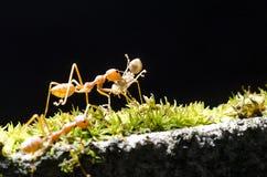 Ta mig hemmet, myran bär myran på svart bakgrund Royaltyfri Bild