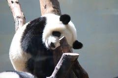 tła niedźwiadkowej kreskówki ilustracyjny pandy stylu biel Zdjęcie Stock
