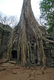 Ta Phrom. Riuns of famous Angkor Wat temple Ta Phrom overgrown by jungle and giant tree roots Royalty Free Stock Photo