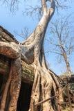 Ta Prohm,吴哥窟,暹粒,柬埔寨巨型古老树的惊人的难以置信的巨大的根  寺庙是 免版税图库摄影