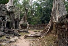 TA Prohm - árbol del extremo de los templs Fotos de archivo libres de regalías