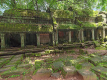 Ta Prohm świątynia w Angkor, Siem Przeprowadza żniwa, Kambodża Obraz Royalty Free