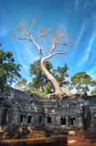 Ta prohm świątynia zakrywająca w drzewie zakorzenia Angkor Wat Kambodża zdjęcie stock