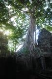 Ta prohm świątynia zakrywająca w drzewie zakorzenia Angkor Wat Kambodża Obrazy Royalty Free