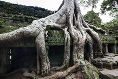 TA Prohm (ναός επιδρομέων τάφων) σε Angkor, Καμπότζη. Περιοχή παγκόσμιων κληρονομιών της ΟΥΝΕΣΚΟ. Στοκ φωτογραφίες με δικαίωμα ελεύθερης χρήσης