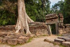 古老废墟和树根, Ta Prohm寺庙,吴哥,柬埔寨 库存图片