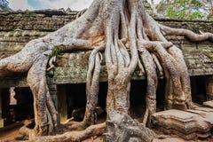 古老废墟和树根, Ta Prohm寺庙,吴哥,柬埔寨 免版税图库摄影