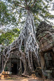 Ta Prohm, ancient khmer Buddhist temple in Siem Reap is known for the trees growing out of the ruins. This temple was Stock Images