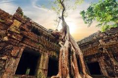 有巨型榕树的Ta Prohm寺庙在日落 Angkor Wat,柬埔寨 库存图片
