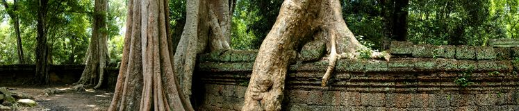 Ta Prohm Angkor Wat. Panorama of fig trees at the temple in Cambodia Stock Photography