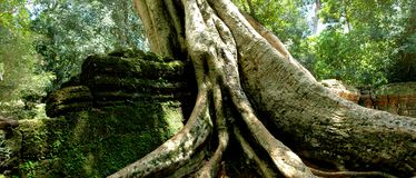 Ta Prohm Angkor Wat. Fig trees at the temple in Cambodia Stock Photo