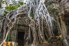 Ta Prohm, antycznego khmer Buddyjska świątynia w Siem Przeprowadzam żniwa zna dla drzew r z ruin Ten świątynia był Fotografia Stock