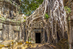 Ta Prohm in Cambodia. This is the Ta Prohm temple in the Angkor Wat temple complex in the jungle of Cambodia. Also known as the Tomb Raider tree from the movie Stock Photos