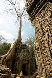 Ta Prohm carvind details with tree Royalty Free Stock Image