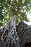 Ta Prohm drzewo Fotografia Stock
