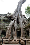 Ta Prohm Khmer ancient temple, Angkor Wat Cambodia Stock Image