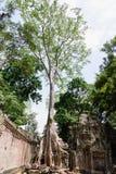 Ta Prohm och trädyttersida Fotografering för Bildbyråer