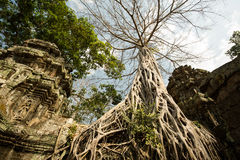 Ta Prohm root tree. Ta Prohm big root tree Royalty Free Stock Photos