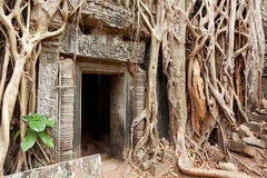 Ta prohm ruins, Angkor Wat, Cambodia. Entrance of Ta Prohm temple covered in tree roots, Angkor Wat, Cambodia. Close up Royalty Free Stock Images