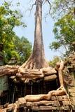 Ta prohm ruins, Angkor Wat, Cambodia. Ta Prohm temple covered in tree roots, Angkor Wat, Cambodia Stock Images