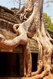 Ta prohm ruins, Angkor Wat, Cambodia. Ta prohm temple covered in tree roots, Angkor Wat, Cambodia. Close up, detail on roots Royalty Free Stock Image