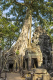 Ta Prohm ruins entwined by giant roots. Roots of Sprung trees on Ta Prohm temple at Angkor in Siem Reap province Stock Photography