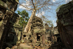 Ta Prohm ruins. With tree Royalty Free Stock Image
