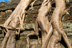 Ta Prohm, Siem reap, Cambodi Stock Photography