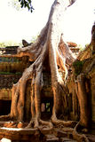 Ta Prohm temple,Angkor Stock Photos