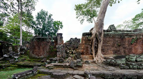 Ta Prohm temple in Angkor Wat Royalty Free Stock Image