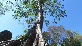 Ta Prohm Temple Banyan tree stock video