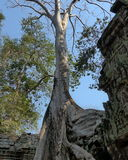 Ta Prohm Temple. Big Banyan Tree Growing Over Ta Prohm Temple, Angkor Wat, Siem reap, Cambodia, Southeast Asia Stock Photo