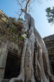 Ta Prohm temple with close up giant banyan tree stock image