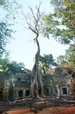 Ta prohm temple covered in tree roots Angkor Wat Cambodia Stock Photo