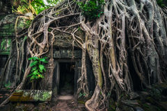Ta Prohm temple with giant banyan tree at sunset. Angkor Wat, Cambodia. Ancient Khmer architecture. Ta Prohm temple with giant banyan tree at Angkor Wat complex royalty free stock images