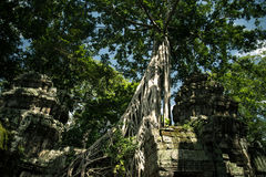 Ta Prohm temple. One of the Angkor temples in Cambodia, close to the city Siem Reap. Not far from the famous Angkor Wat. The temple seems lost in a jungle and Stock Images