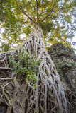 Ta Prohm Temple Ruins Royalty Free Stock Photo