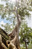 Ta Prohm Temple tree Royalty Free Stock Photos