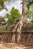 Ta Prohm templet fördärvar bevuxet med träd på Angkor, Siem Royaltyfria Bilder
